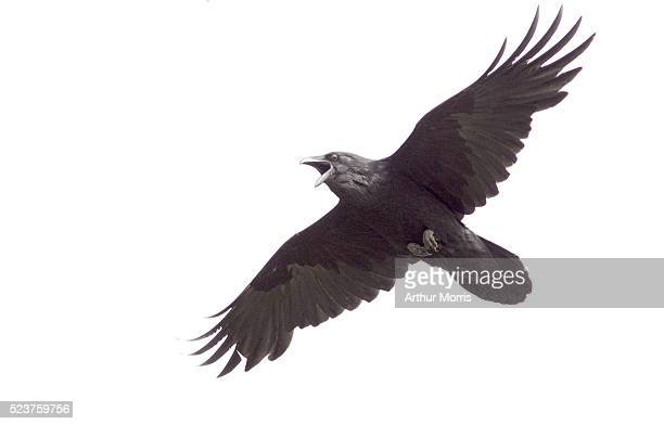 common raven in flight - crow stock pictures, royalty-free photos & images
