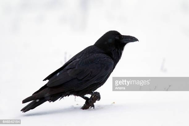 Common raven / northern raven in the snow in winter