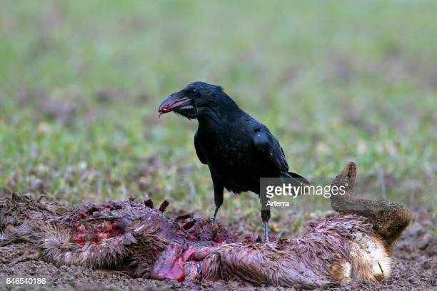 Common raven / northern raven scavenging on carcass of perished roe deer in winter