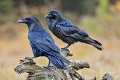 Common raven on old stump.