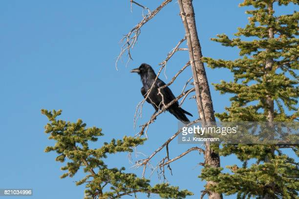 common raven perched in dead tree branch. - dead raven stock photos and pictures