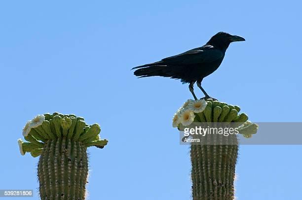 Common raven perched on saguaro cactus blooming in spring Sonoran desert Arizona US