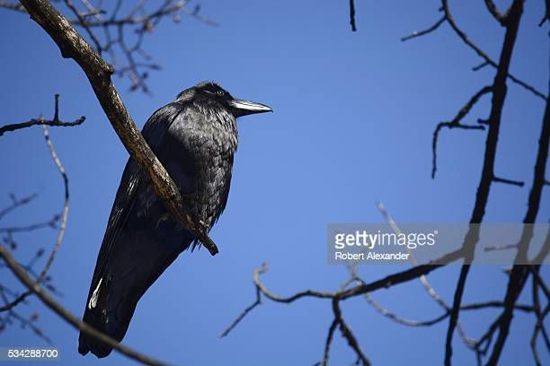 Common Raven perches in a tree in Chimayo New Mexico on February 27 2016