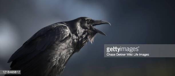 common raven - 動物の行動 ストックフォトと画像