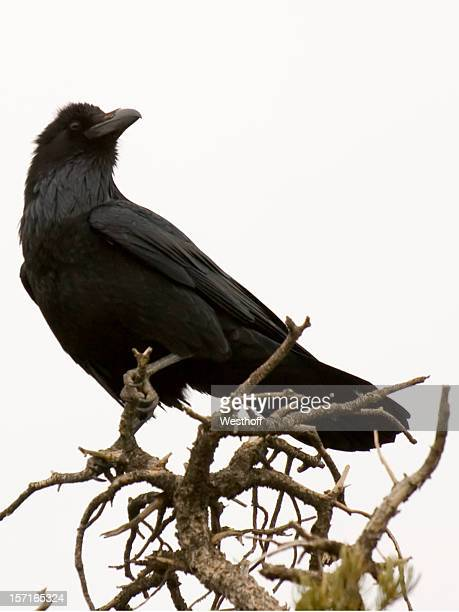 common raven - crow bird stock photos and pictures
