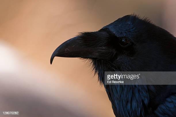 Common Raven (Corvus corax) Yellowstone National Park, Wyoming, USA