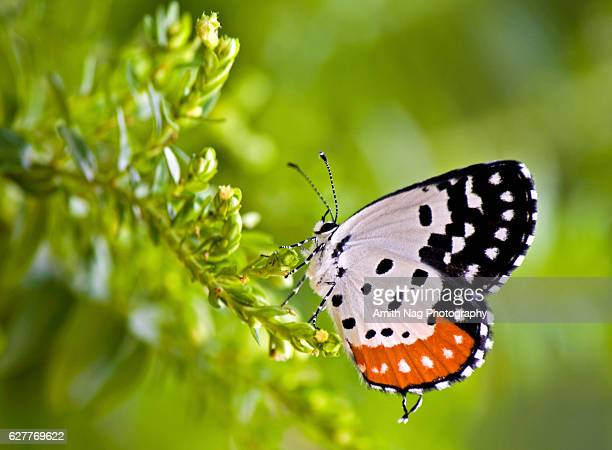 Common red pierrot