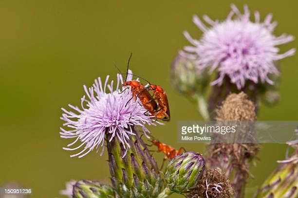 Common Red Soldier Beetle on Meadow Thistle