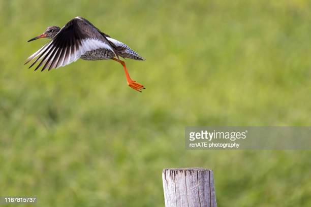 common redshank flying away - featherweight stock pictures, royalty-free photos & images