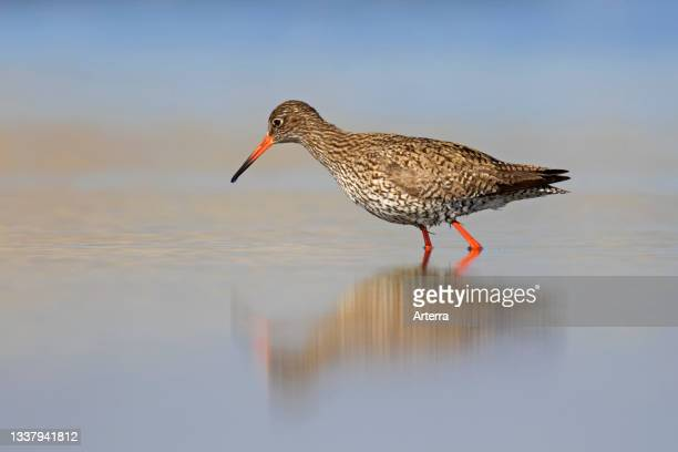 Common redshank foraging in shallow water in spring.