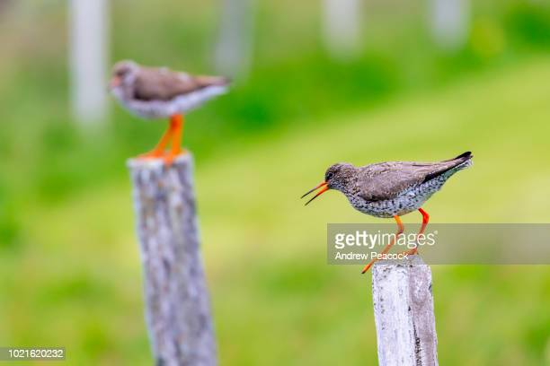 common redshank or redshank (tringa totanus) on flatey island - {{asset.href}} stock pictures, royalty-free photos & images
