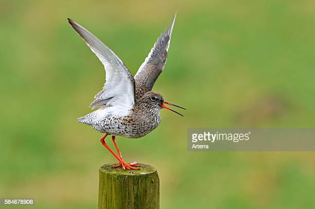 Common Redshank with wings spread calling from fence post in meadow the Netherlands
