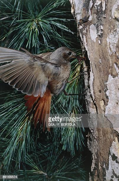 Common Redstart at tree