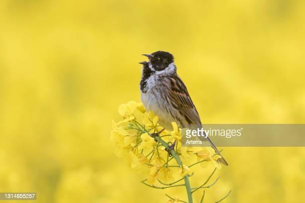 Common reed bunting male calling / singing in flowering rape field / rapeseed field in spring.