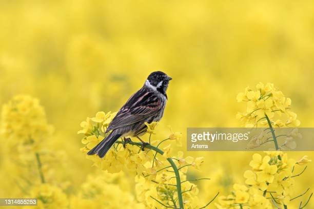 Common reed bunting male perched in rape field / rapeseed field in flower in spring.