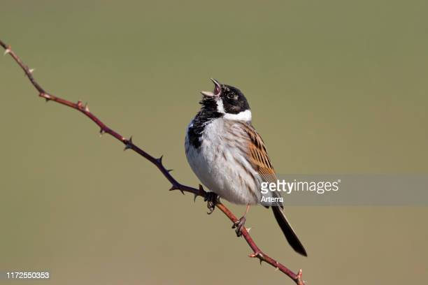 Common reed bunting male perched on twig and singing in spring