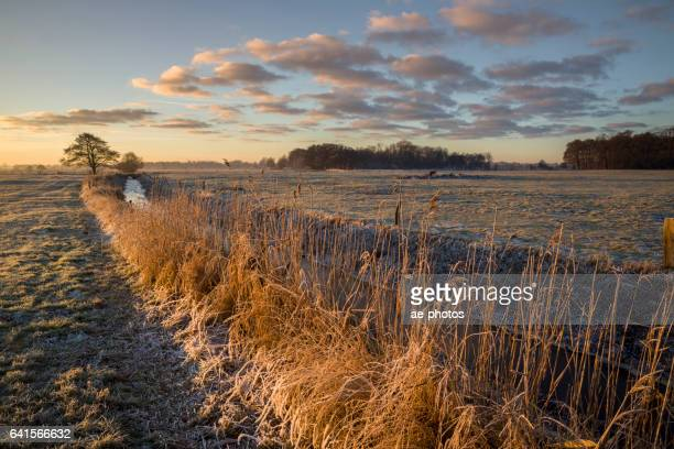 Common reed in morning light at frozen ditch on pasture