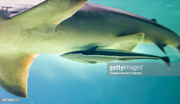 Common remora close up and a Grey reef shark. Remora remora