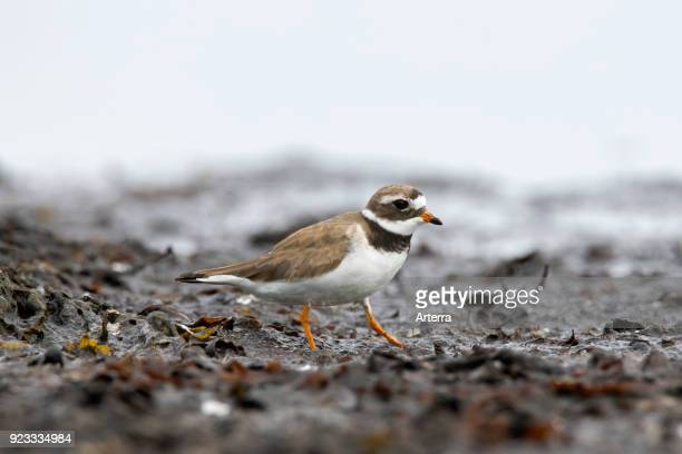 Common ringed plover in breeding plumage foraging on mud flat in summer