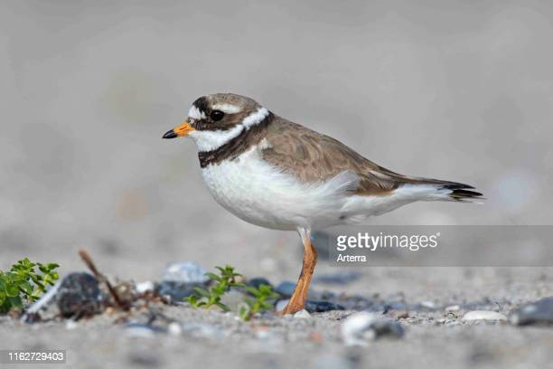 Common ringed plover in breeding plumage foraging on the beach in spring / summer.