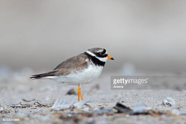Common ringed plover in breeding plumage foraging on the beach in summer