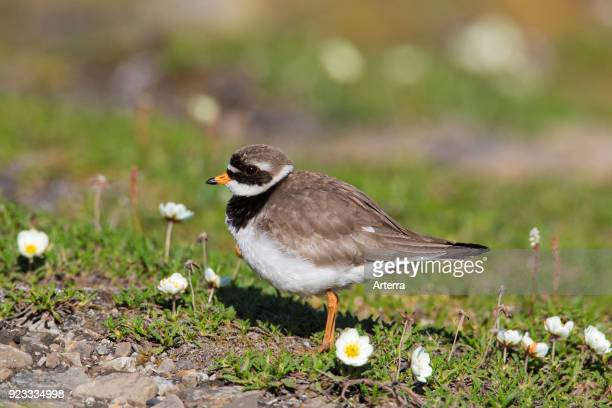 Common ringed plover in breeding plumage foraging on the tundra in summer Svalbard Spitsbergen Norway