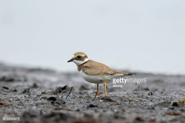 Common ringed plover juvenile foraging on mud flat in summer