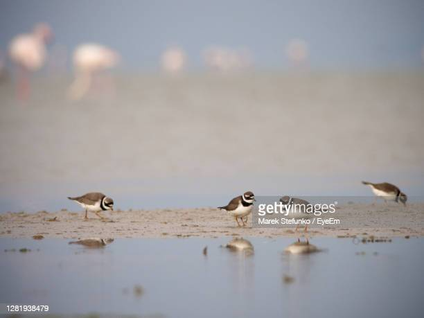 common ringed plovers - charadrius hiaticula in camargue - marek stefunko stock pictures, royalty-free photos & images
