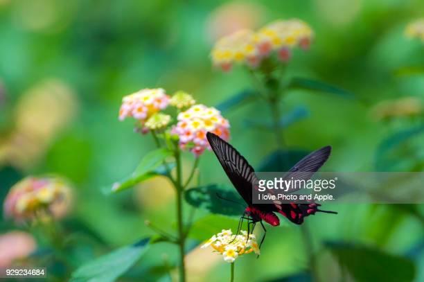 common rose and lantana flowers - farfalla a coda di rondine foto e immagini stock