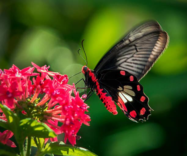 Common Rose Butterfly feeding on pentas lanceolata