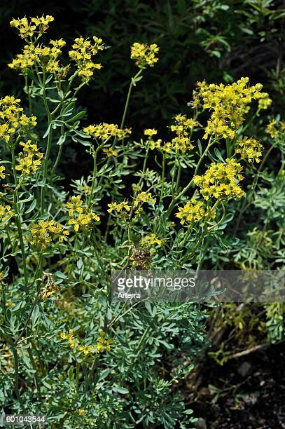 Common rue / Herb-of-grace in flower.