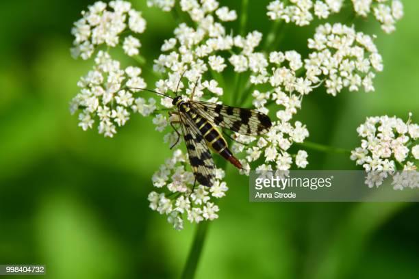 Common scorpionfly on marsh angelica.