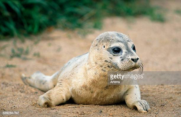 Common seal / Harbour seal pup resting on beach