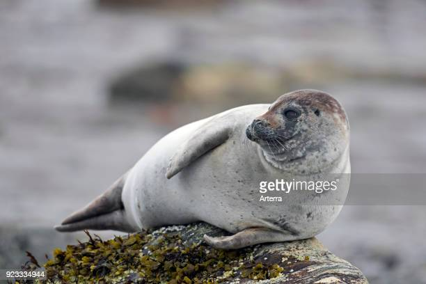 Common seal harbour seal resting on rocky coast Svalbard Spitsbergen Norway