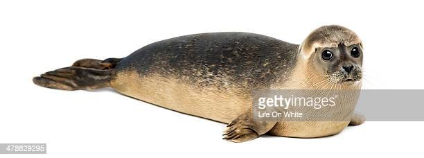Common seal lying, Phoca vitulina, 8 months old