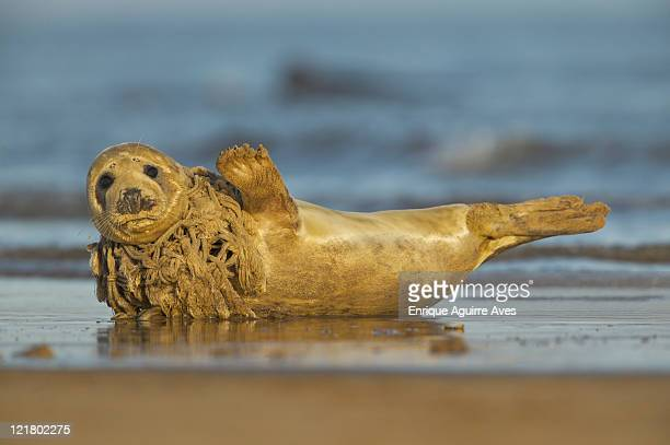 Common seal, Phoca vitulina, with a net rapped around its neck, North Sea, UK