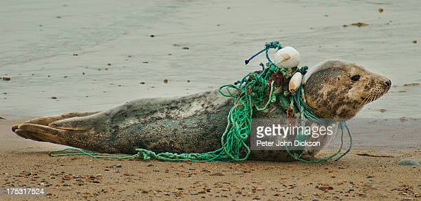 Common Seal slowly being strangulated by fishing nets and sea pollution.