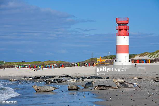 Common seals / Harbour seal colony resting on beach near lighthouse Helgoland / Heligoland Wadden Sea Germany