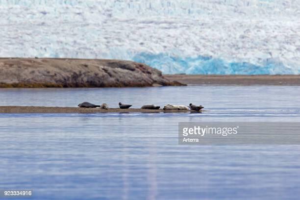 Common seals harbour seals resting in front of glacier Svalbard Spitsbergen Norway