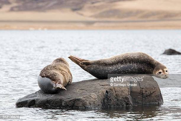 Common seals (Phoca vitulina) resting on a rock