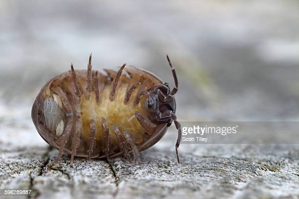 common shiny woodlouse oniscus asellus - potato bug stock pictures, royalty-free photos & images