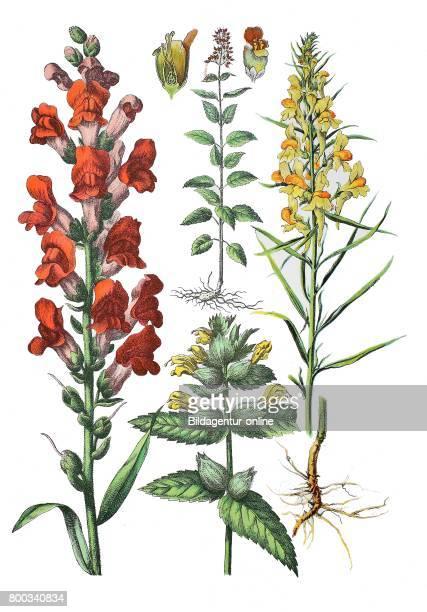 Common snapdragon Antirrhinum majus Greater Yellowrattle Rhinanthus angustifolius CC Gmel Syn Rhinanthus serotinus figwort Scrophularia nodosa common...