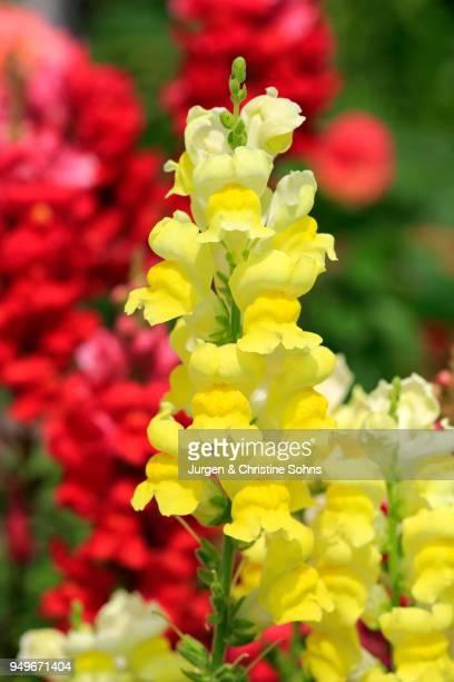 Common Snapdragon (Antirrhinum majus), blossom, Germany