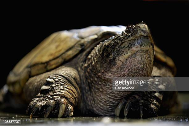 Common Snapping Turtle is pictured at Heathrow Airport's Animal Reception Centre on January 25 2011 in London England Many animals pass through the...