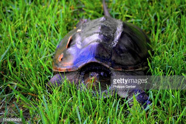 common snapping turtle - snapping turtle stock pictures, royalty-free photos & images