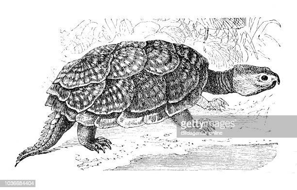 common snapping turtle Schnappschildkršte Chelydra serpentina digital improved reproduction of an original print from the year 1881