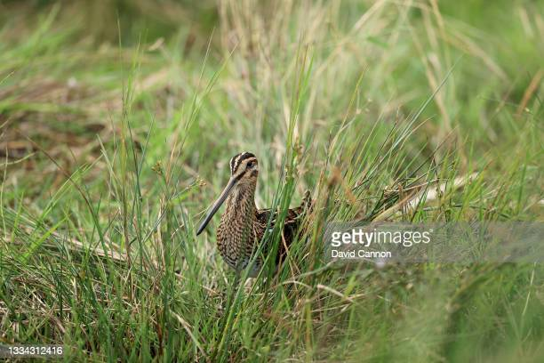 Common Snipe in the long grass beside the water hazard on the 10th hole during the final round of the Trust Golf Women's Scottish Open at Dumbarnie...