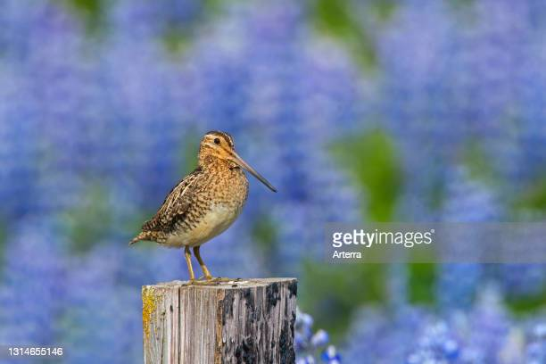 Common snipe male perched on wooden fence post along meadow with lupines in flower in summer.