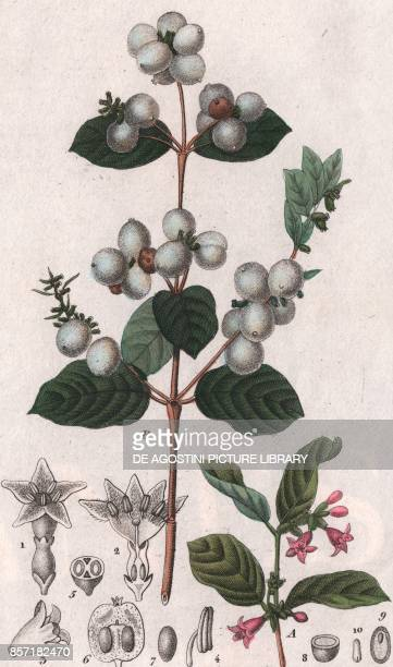Common snowberry colour copper engraving retouched in watercolour 9x15 cm from Dizionario delle scienze naturali compilato da vari professori del...