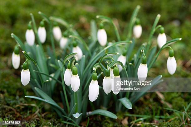 common snowdrop (galanthus nivalis), north tirol, austria, europe - snowdrop stock pictures, royalty-free photos & images